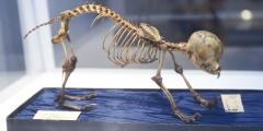 9_Hundeskelett aus der Zoologischen Sammlung der Universität Wien